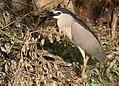 Black-crowned Night Herone.jpg
