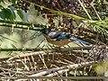 Black-headed Jay (Garrulus lanceolatus) (31622404957).jpg