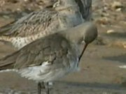 Файл:Black-tailed Godwit.ogv