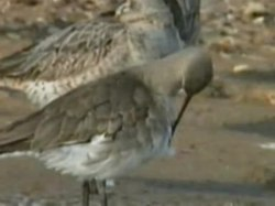 പ്രമാണം:Black-tailed Godwit.ogv