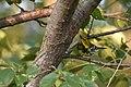 Black-throated Green Warbler (44090217235).jpg