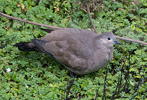 Black-winged ground dove - Black-winged ground dove, lower slopes of Chimborazo Volcano, Ecuador