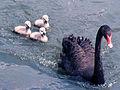 Black Swan Family.jpg