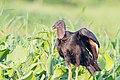 Black Vulture Zamuro (Coragyps atratus) (25612342560).jpg