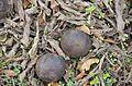 Black Walnuts - perfect baseballs at Staunton River State Park (15639157680).jpg