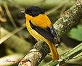 Black and Orange Flycatcher (Male) (6995576912).jpg