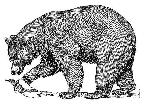 Black bear (PSF)