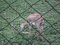 Black buck at Bannerghatta National Park 8658.JPG
