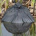 Black heron, Egretta ardesiaca, at Marievale Nature Reserve, Gauteng, South Africa. (28293693029).jpg