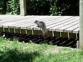 Black squirrel on bridge.jpg