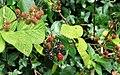 Blackberries, Belfast - geograph.org.uk - 1405281.jpg