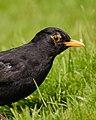 Blackbird (39709628).jpeg