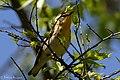 Blackburnian Warbler (female) Sabine Woods TX 2018-04-22 14-35-29 (41991876561).jpg