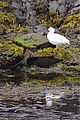 Blackish Oystercatcher & Kelp Goose (4302373071).jpg