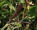Blauflügel-Prachtlibelle Calopteryx virgo 8206.jpg