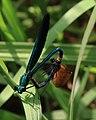 Blauflügel-Prachtlibelle Calopteryx virgo mating 8217.jpg
