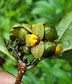 Blepharistemma serratum fruits 09.JPG
