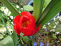 Bloomingredflower.JPG