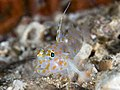 Blotched sandgoby (Fusigobius inframaculatus) (49604798388).jpg
