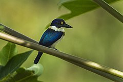 Blue-and-white Kingfisher - Halmahera S4E3732.jpg