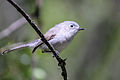Blue-gray Gnatcatcher CA.jpg