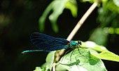 Blue Dragonfly Iski Vingart.JPG