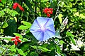 Blue morning glory flower