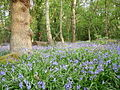 Bluebells at Shining Cliff Woods - geograph.org.uk - 506139.jpg