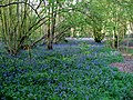 Bluebells in Marriage Wood - geograph.org.uk - 791219.jpg
