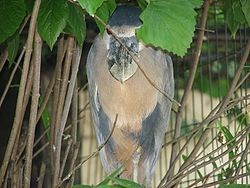 Boat Billed Heron.jpg