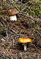 Boletus edulis and Amanita muscaria.jpg