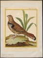 Bonasa umbellus - 1700-1880 - Print - Iconographia Zoologica - Special Collections University of Amsterdam - UBA01 IZ17100391.tif