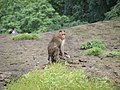 Bonnet Macaques Macaca radiata Kanheri SGNP Mumbai by Raju Kasambe DSCF0056 (1) 17.jpg