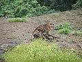 Bonnet Macaques Macaca radiata Kanheri SGNP Mumbai by Raju Kasambe DSCF0056 (1) 18.jpg