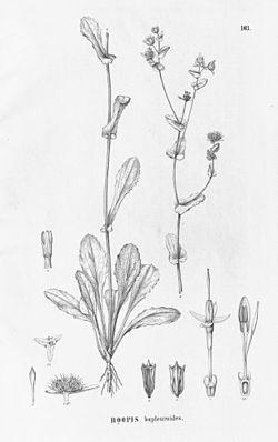Boopis bupleuroides, Illustration.