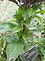 Boraginaceae - Heliotropium arborescens - 4.jpg