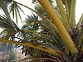 Borassus Palm (5386297077).jpg