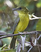 Фотография серо-коричневой птицы с желтоватым низом, сидящей на ветке