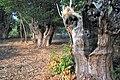 Bosque de castiñeiros, Verea. - panoramio (1).jpg