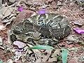 Bothrops jararaca descansando na trilha.JPG