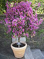 Bougainvillea in a pot.JPG