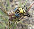 Brachytron pratense female head.JPG
