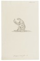 Bradypus didactylus - 1700-1880 - Print - Iconographia Zoologica - Special Collections University of Amsterdam - UBA01 IZ21000177.tif