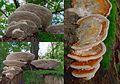 Brand new young Daedalea quercina (Oak Mazegill or Mazegill Fungus, D= Eichenwirrling, F= Dédalée du chêne, NL= Doolhofzwam)(Querus=Oak=Eiche=Chêne=Eik) white spores, causes brownrot. In a group at Oosterbeek - panoramio.jpg