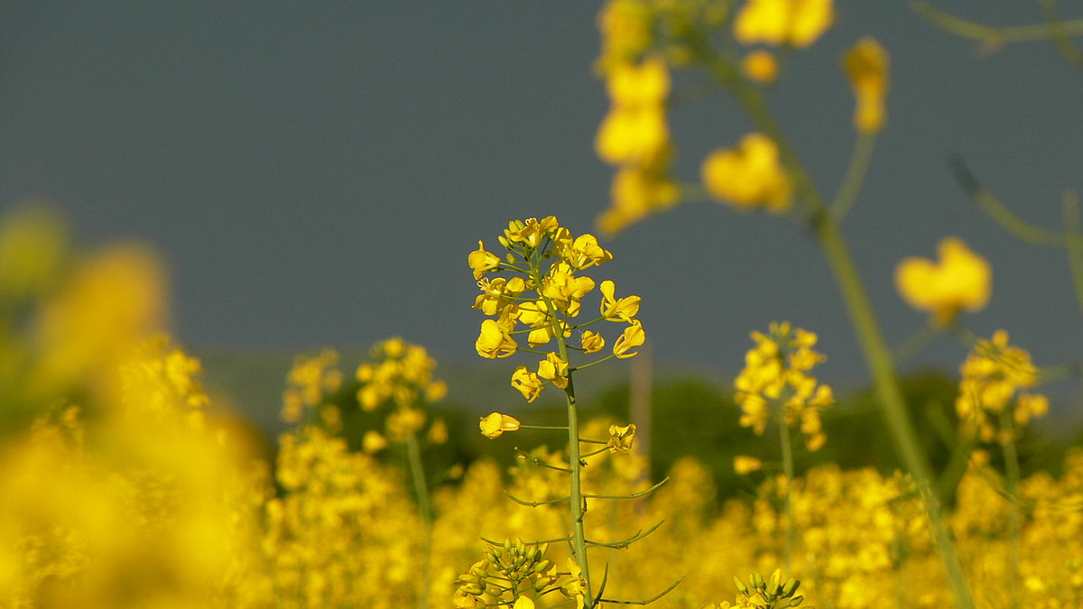 Mustard plant - Simple English Wikipedia, the free ...