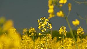 Field of the wild mustard (Brassica juncea) in South Bohemia - Czech Republic - Europe