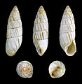 Brephulopsis cylindrica 01.JPG