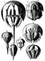 Britannica King-crab.png