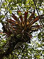 Bromeliad (23756568865).jpg