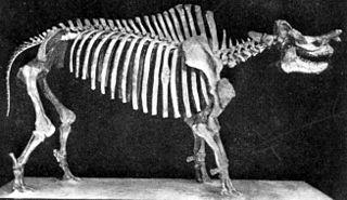 <i>Megacerops</i> genus of mammals (fossil)